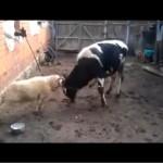Баран против быка (ВИДЕО)