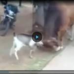 Козел против быка!!! (ВИДЕО)